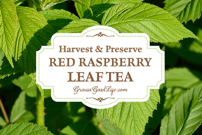 How to Harvest & Preserve Red Raspberry Leaf Tea