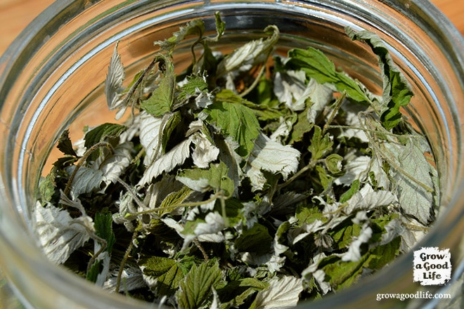 Red raspberry leaf tea has been used for centuries as a natural remedy for conditions involving the uterus including pregnancy, childbirth, menstruation, and menopause. See how to harvest and preserve your own raspberry leaf tea.