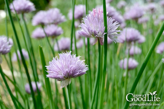 Grow chives all year even when the garden is under snow. See how to divide and pot up chive plants to bring indoors for winter.