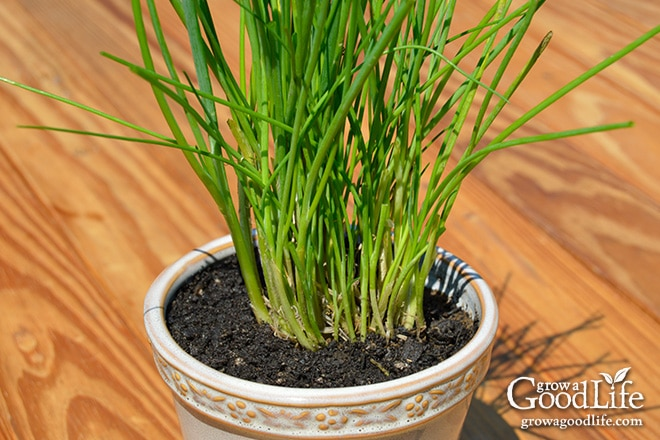 Grow Herbs Indoors: Potting Up Chives | Grow a Good Life