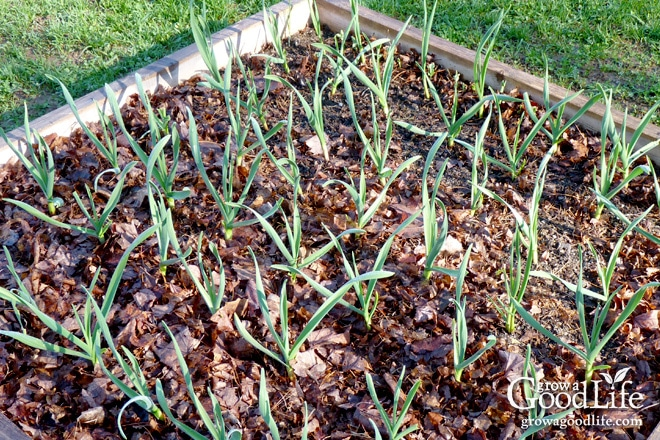 20 Garden Mulching Tips from Seasoned Growers | Grow a Good Life