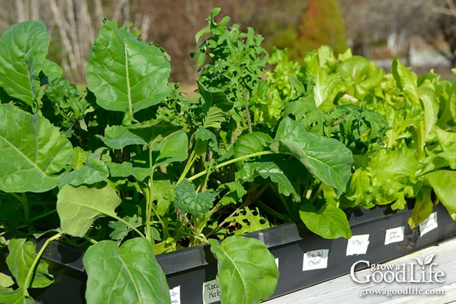 Sowing seeds and growing seedlings in pots and trays can give them a head start.