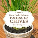 Grow Herbs Indoors: Potting Up Chives