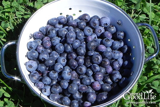 A nice harvest of blueberries
