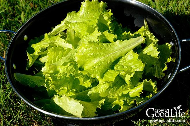 Slo Bolt Lettuce Harvest | Grow a Good Life