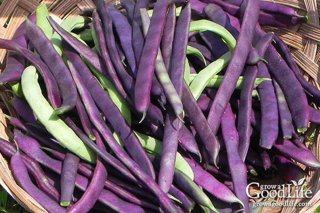 String beans are very productive and you may find yourself overwhelmed come harvest time. Preserve the harvest by pressure canning green beans for food storage.