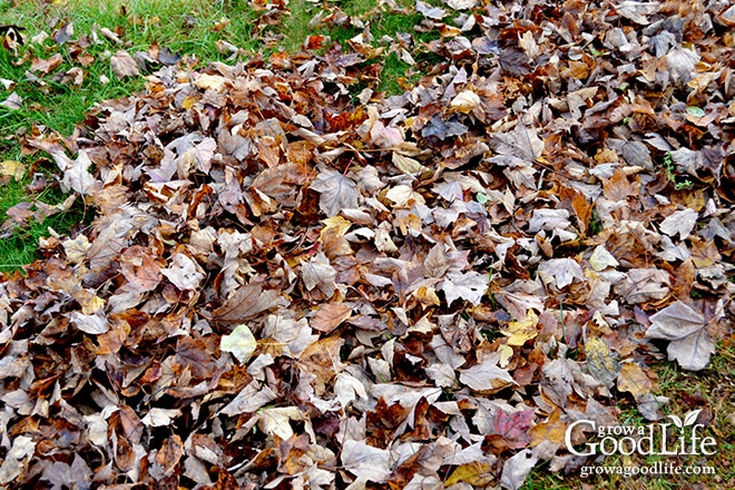 Gathering leaves for the compost bin.