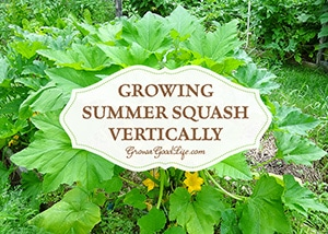 Using a trellis or tomato cage helps to keep summer squash from flopping into the walking paths. It also saves space, encourages air circulation, and allows the squash to be more visible reducing the chance of overgrowth. See how easy it is to grow summer squash vertically.