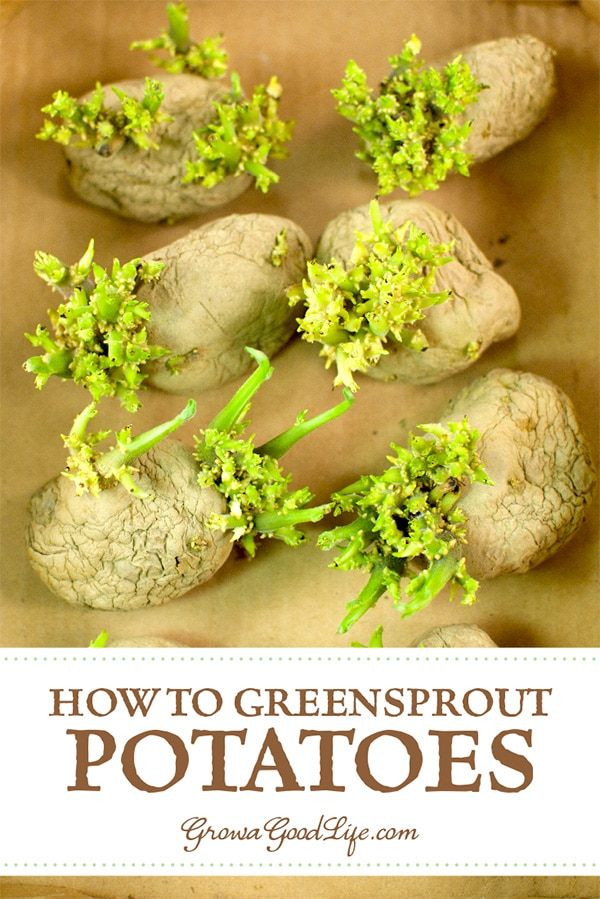 Chitting potatoes is also called greensprouting, or pre-sprouting. Chitting it is a way of preparing potatoes for planting by encouraging them to begin sprouting before planting them into the ground.