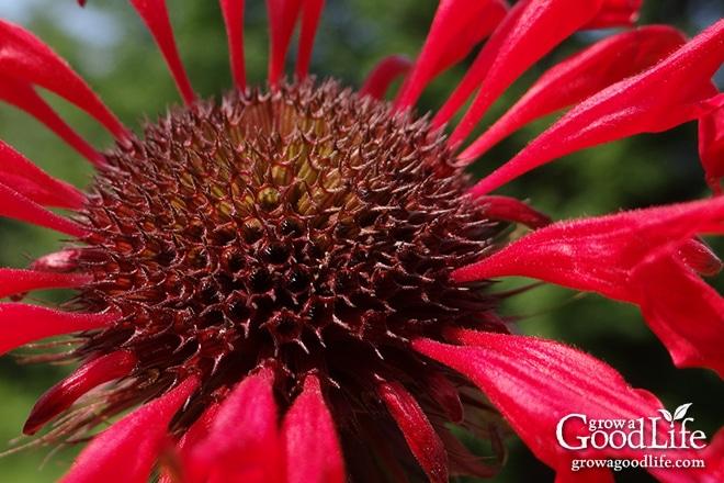 How To Grow Harvest And Preserve Bee Balm Monarda