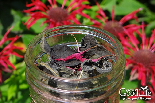 Getting My How To Germinate Bee Balm Seeds - Home Guides - Sf Gate To Work