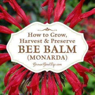 How to Grow, Harvest, and Preserve Bee Balm (Monarda)