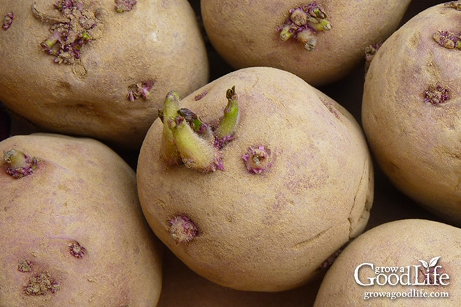 Chitting potatoes is also called greensprouting, or pre-sprouting. Chitting it is a way of preparing potatoes for planting by encouraging them to sprout before planting in the ground. This gives the tubers a head start and encourages faster growth and heavier crops once the seed potatoes are planted.