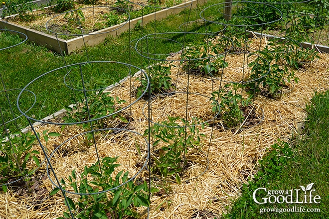 A Tomato Trellis Is A Freestanding Structure Usually Made From Wood Or  Metal That Is Used
