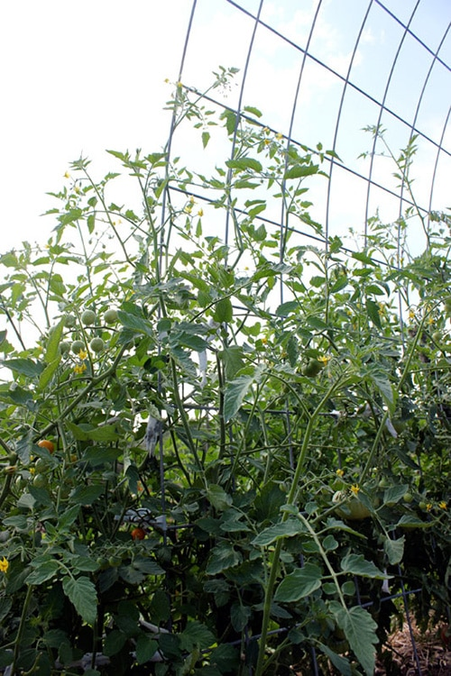 Tomato Trellis Ideas Part - 35: Durable Cattle Panels Arched Into An Arbor Tomato Trellis Shape From  Homestead Honey