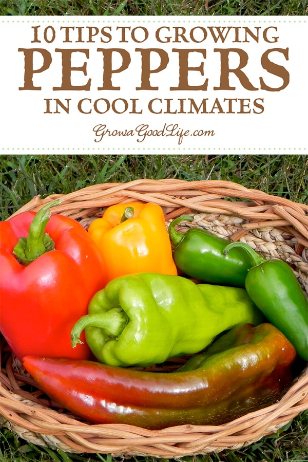 Growing peppers is possible even for those of us with short gardening seasons. It is worth exploring different flavors and varieties to see what will thrive in your environment. Read on for 10 tips for growing peppers.
