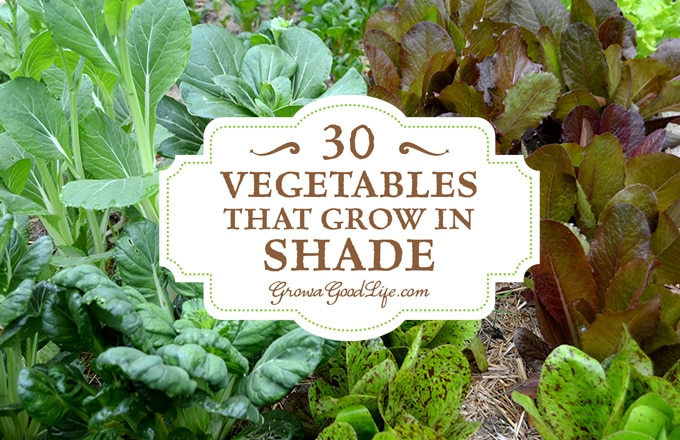Do You Have An Area Of Your Garden That Is Shaded Part Of The Day? If You  Think You Canu0027t Grow Anything There, You Are Wrong. There Are Many  Vegetables That ...