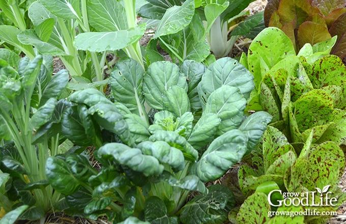leafy greens growing in a shady garden
