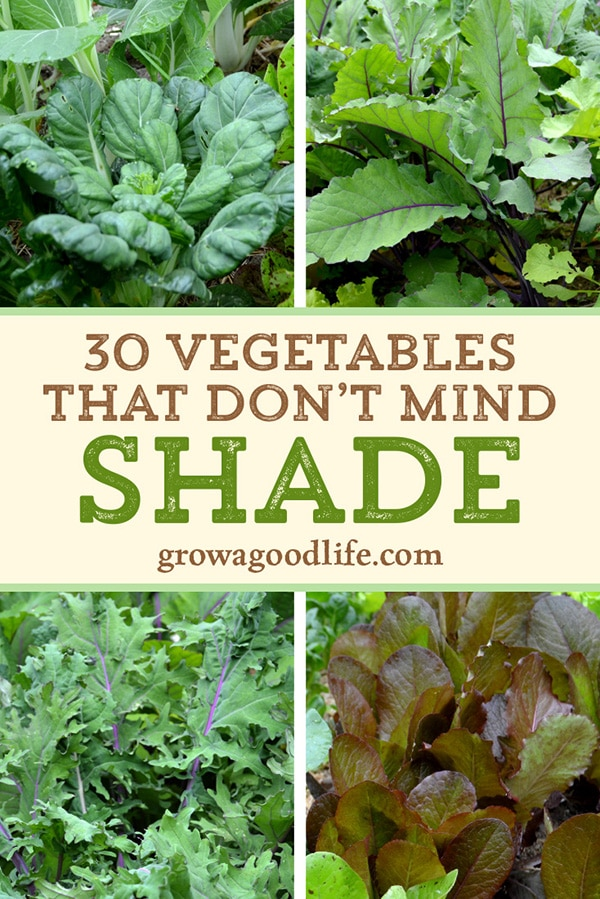 Do you have an area of your garden that is shaded part of the day? There are many vegetables that grow in shade. Some even thrive when sheltered from the intense rays from the summer sun. Read on for over 30 vegetables that will grow in partial shade.