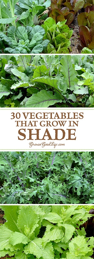 arugula - Vegetable Garden Ideas For Shaded Areas