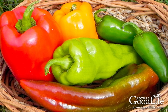 Peppers can be harvested at any stage of growth, but their flavor doesn't fully develop until maturity.