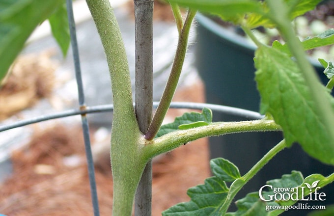 Did you know you could root tomato suckers for a second crop of fresh and healthy plants? Cloning tomato plants from suckers is quicker than starting a new crop from seed.