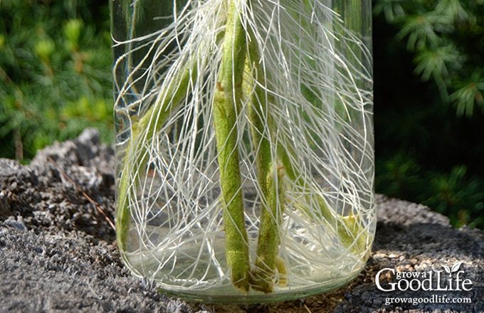 Did you know you can root tomato suckers for a second crop of fresh and healthy plants? Cloning tomato plants from stems is faster than starting from seed.
