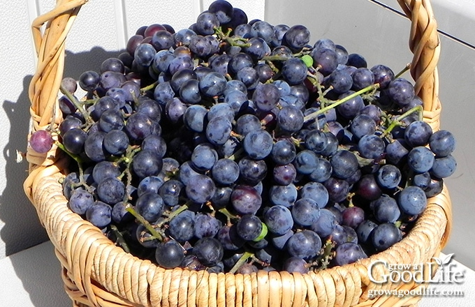 concord grapes in a basket