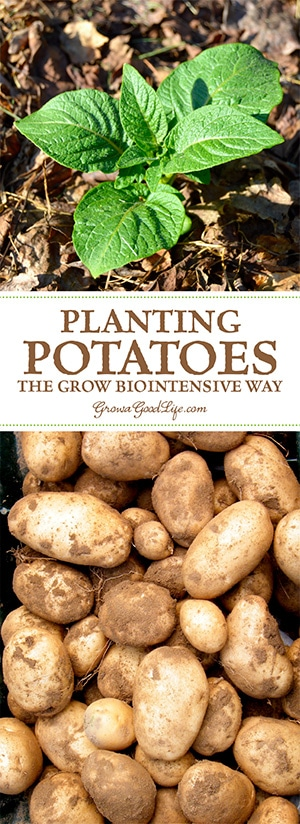 Planting potatoes the Grow Biointensive way involves double-dug beds, feeding the soil with compost, and planting closely to conserve spacing and create a microclimate.