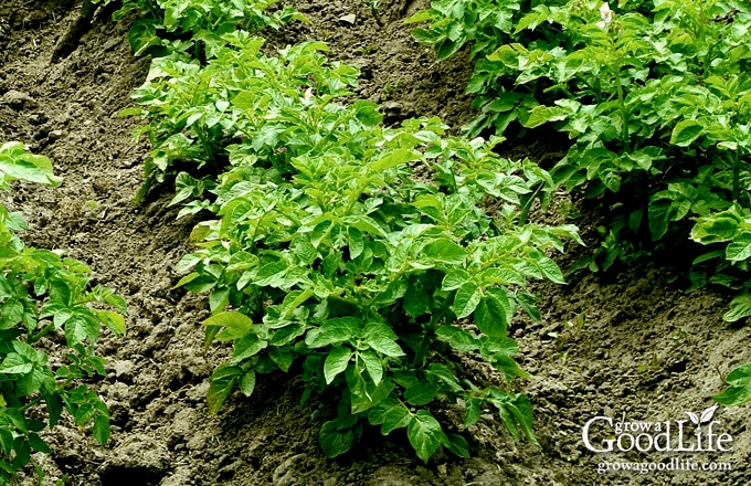 What could be more satisfying than the flavor of freshly dug potatoes lifted straight from your own garden? Learn how to grow potatoes using the traditional trench and hill method.