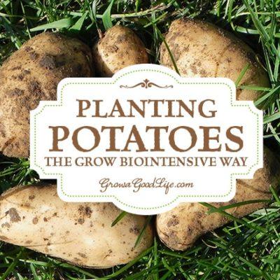 Planting Potatoes the Grow Biointensive Way