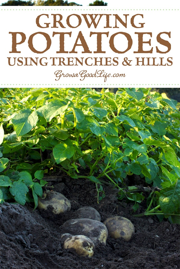 "As potato plants grow, gather soil around stems, and cover until just the top few leaves show above the soil. This process is called ""hilling."" Read on for more tips on growing potatoes."