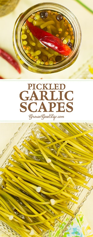 If you enjoy pickles and garlic, you are going to love the flavor of these pickled garlic scapes.