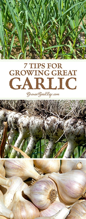 With a little planning at planting time, garlic is one of the most trouble-free crops you can grow in the garden. Here are some tips for growing garlic.
