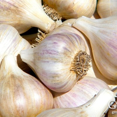 7 Tips for Growing Great Garlic