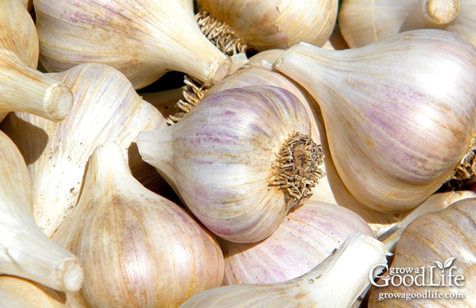 7 Tips for Growing Great Garlic Zone B Garden Designs Html on