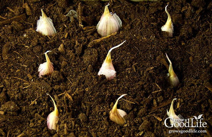 garlic coves planted in soil