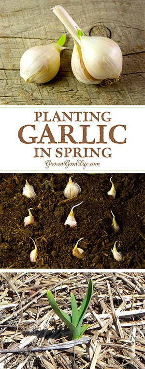 Missed Your Chance To Plant Garlic Last Fall? Has Your Winter Storage  Garlic Sprouted?