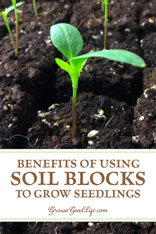 Have you heard of using soil bocks for growing seedlings? A soil block is a cube of lightly compressed soil and nutrients that will grow one transplant. Learn more about using soil blocks for growing seedlings