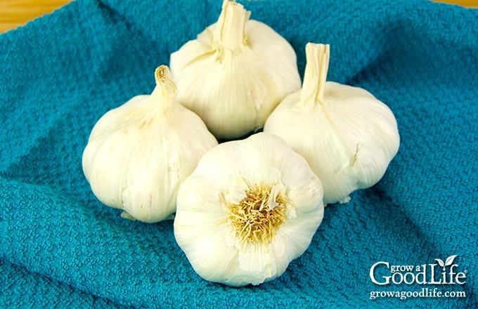 four garlic bulbs on an aqua towel
