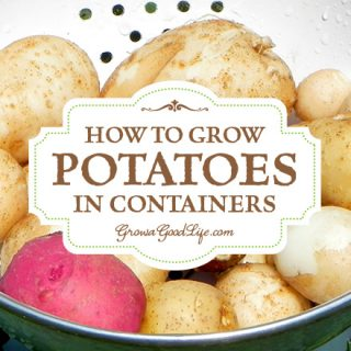 If you don't have the room in your garden to plant potatoes or even if you have no garden at all, you can grow potatoes in containers. Here are some tips for growing potatoes in pots, grow bags, and buckets.