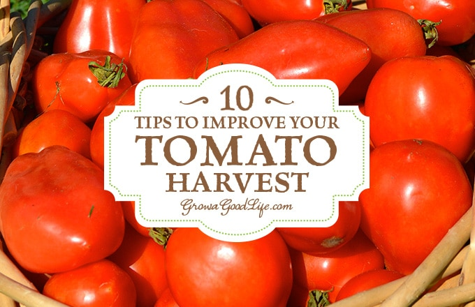 Growing Tomatoes 10 Tips To Improve Your Tomato Harvest
