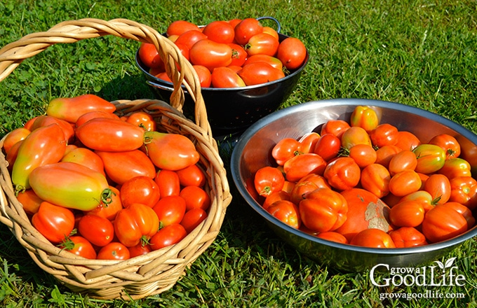 Tomato harvest in bowls and baskets