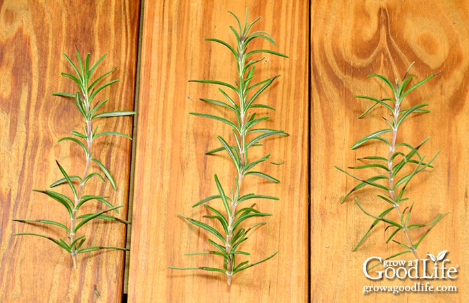 three rosemary stem cuttings on a table
