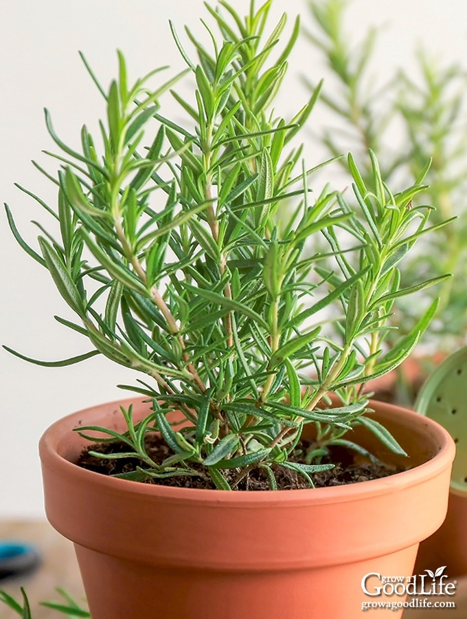 image of a young rosemary plant in terracotta pot