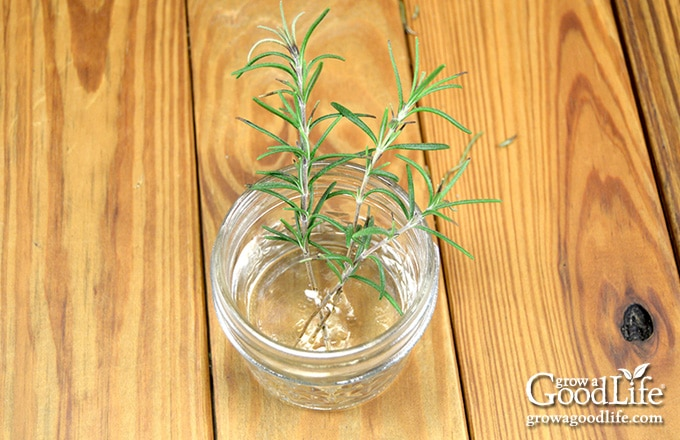 image of a jar of water with three rosemary stems