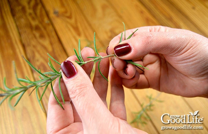 image of hands removing the lower leaves of a rosemary stem