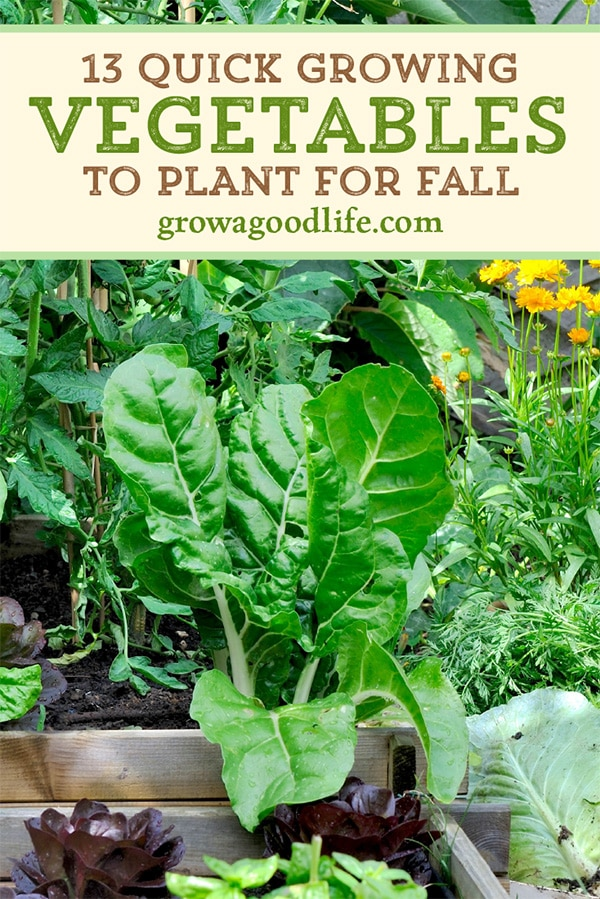Swiss chard and other fall vegetables in the garden