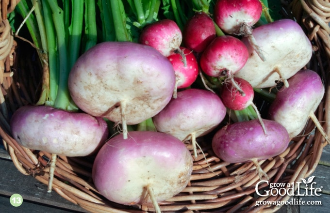 13) Turnips