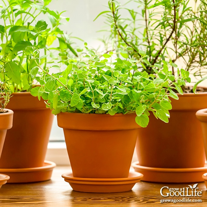 several pots of herbs in a window